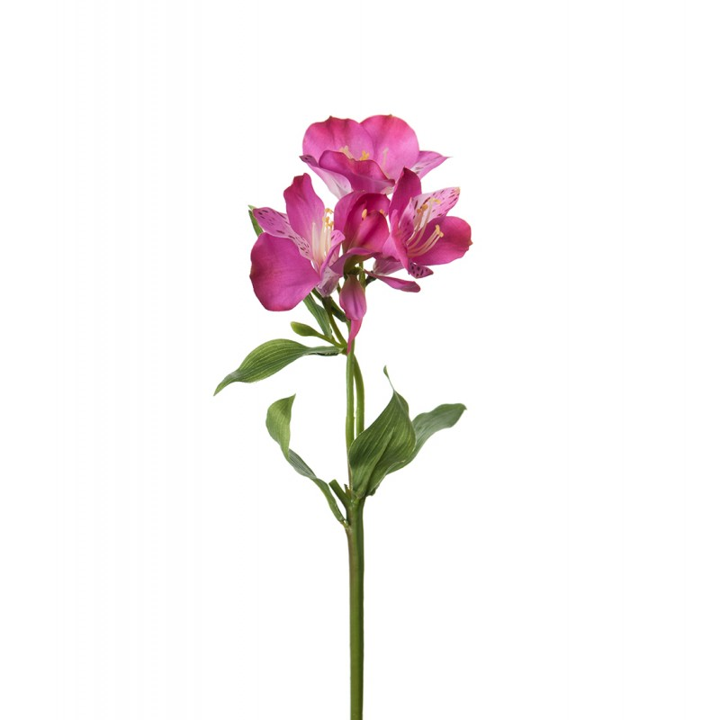 Pink Peruvian lily flower
