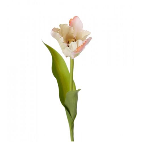White/pink tulip flower