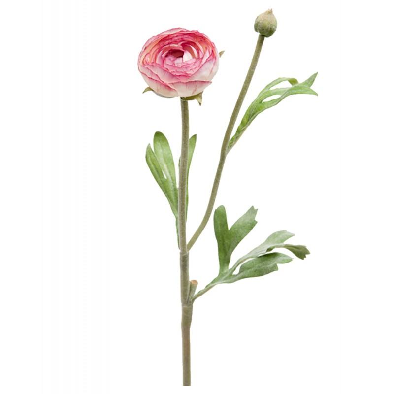 Pink Persian buttercups flower