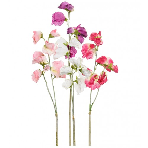 Multicolour sweet peas flower