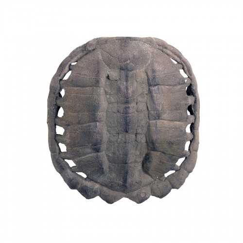 Big anverse turtle carapace